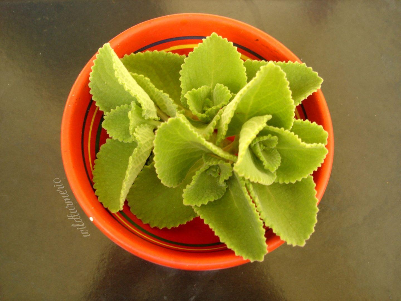 karpuravalli medicinal uses