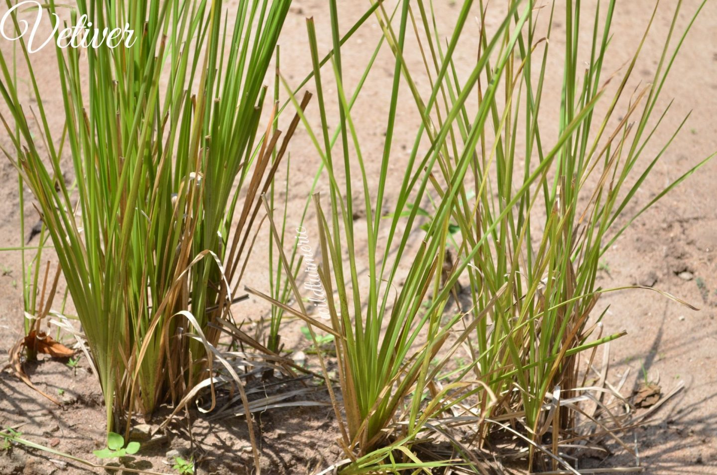 vetiver medicinal uses