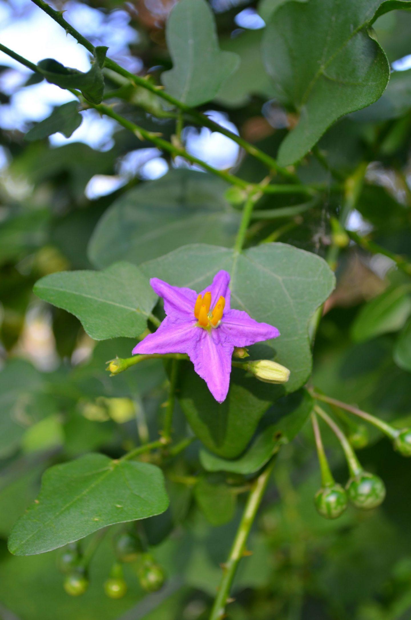 Thuthuvalai Keerai health benefits