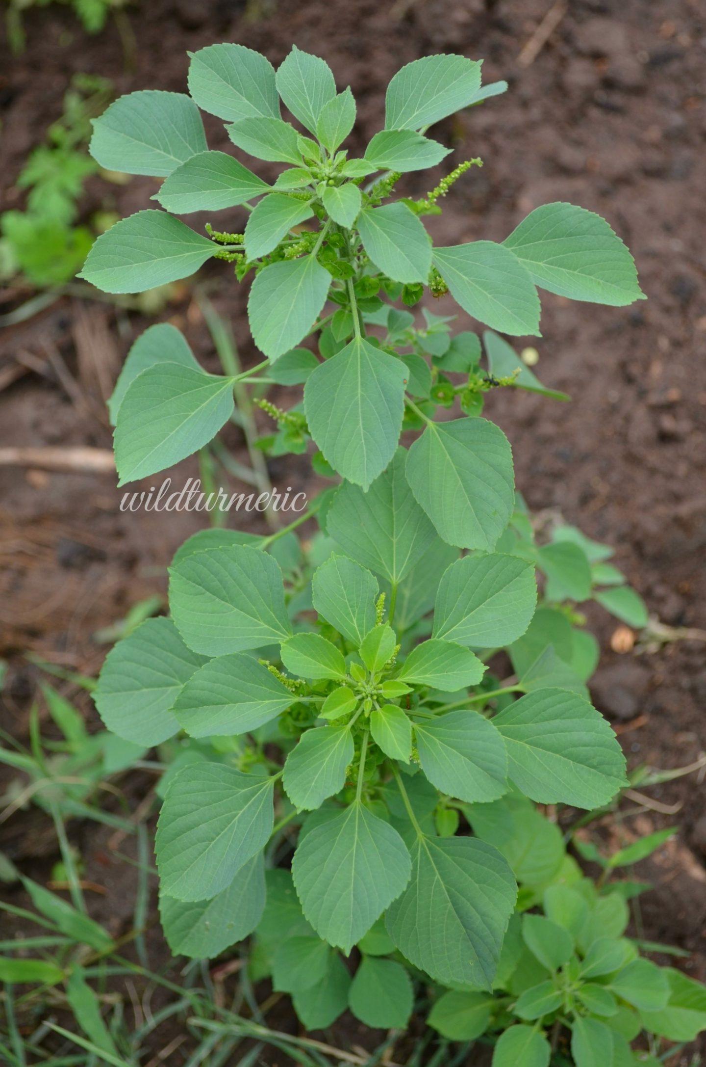 acalypha indica medicinal uses