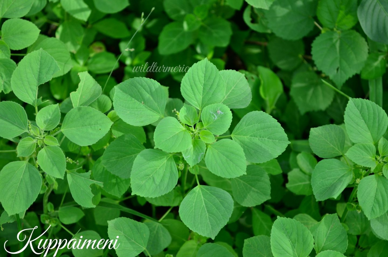 kuppaimeni medicinal uses