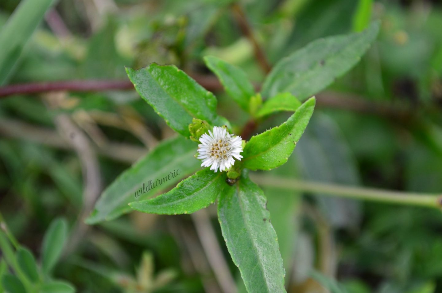 bhringraj hair benefits and uses