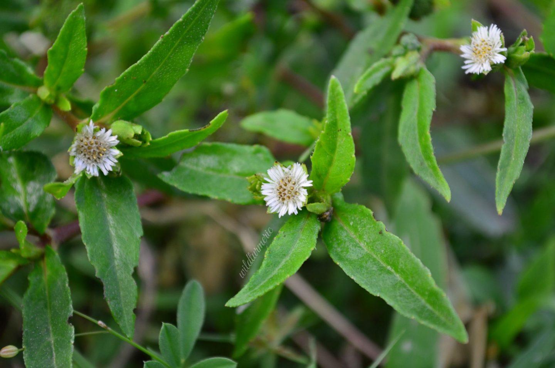 bhringraj plant medicinal uses