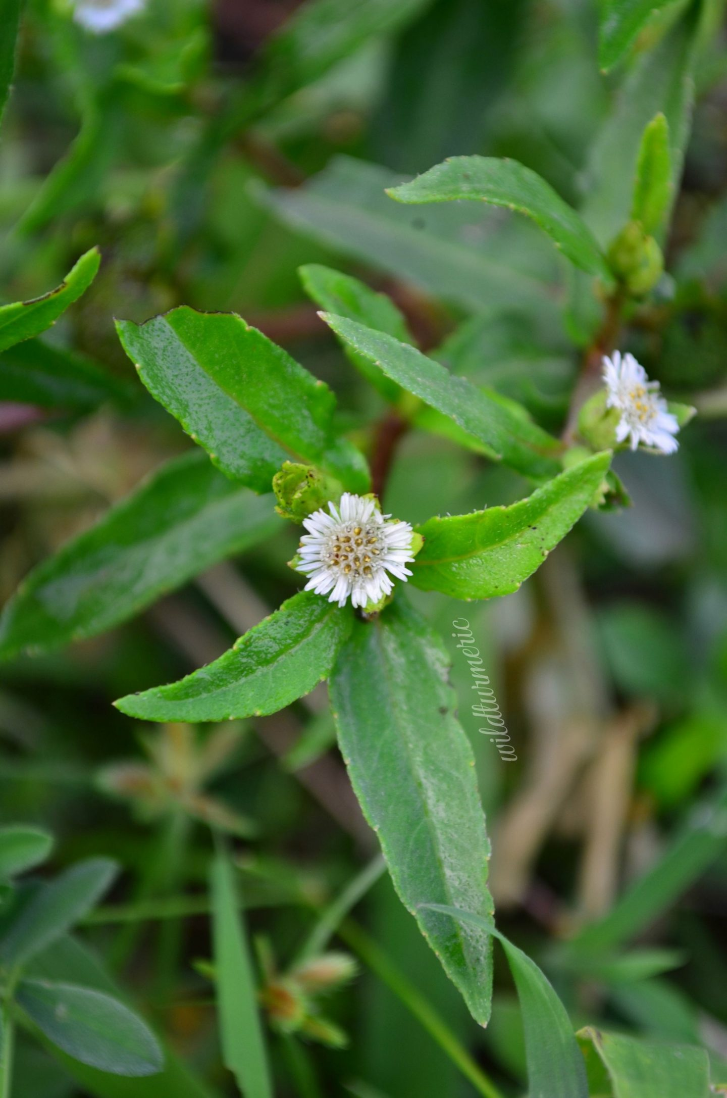 eclipta alba medicinal uses
