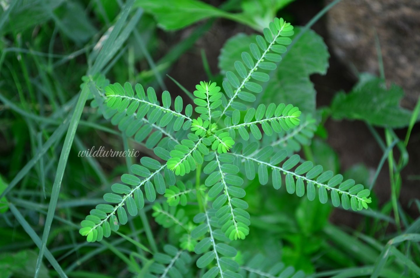 10 Top Medicinal Uses & Benefits Of Keelanelli | Keezhanelli For Hair, Skin & Health