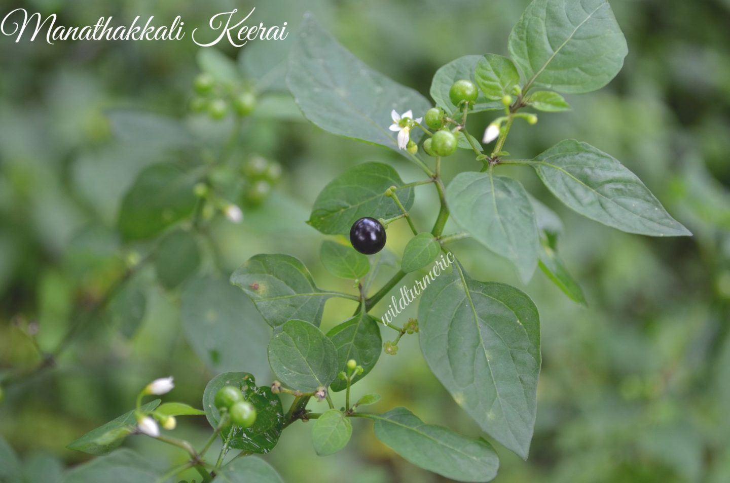 manathakkali health benefits