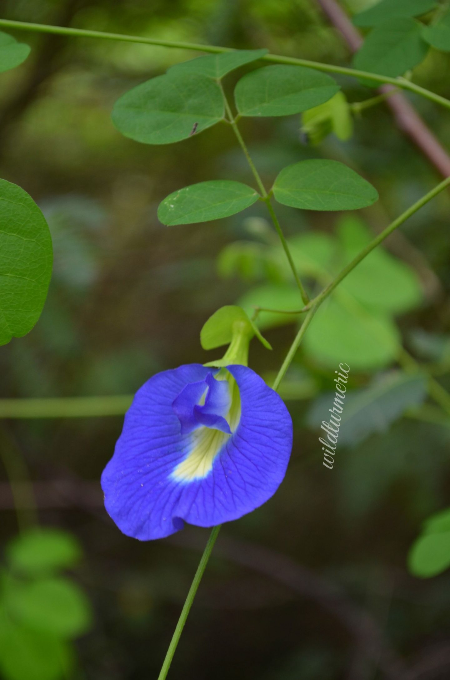 butterfly pea flower tea benefits
