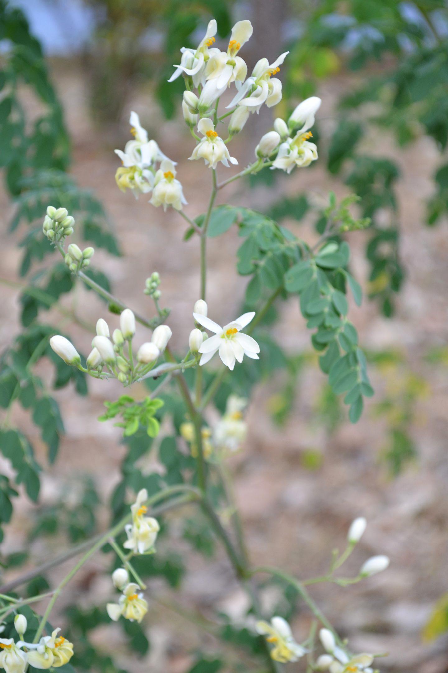 moringa medicinal uses