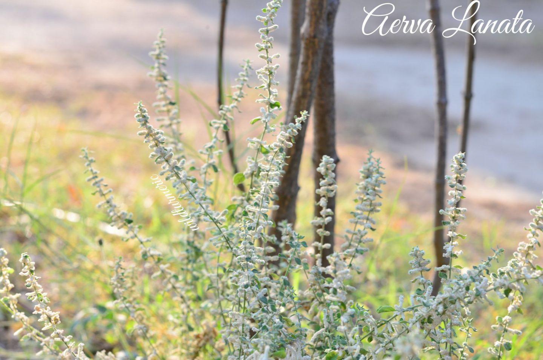 Aerva Lanata Medicinal Uses