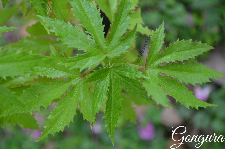 gongura medicinal uses