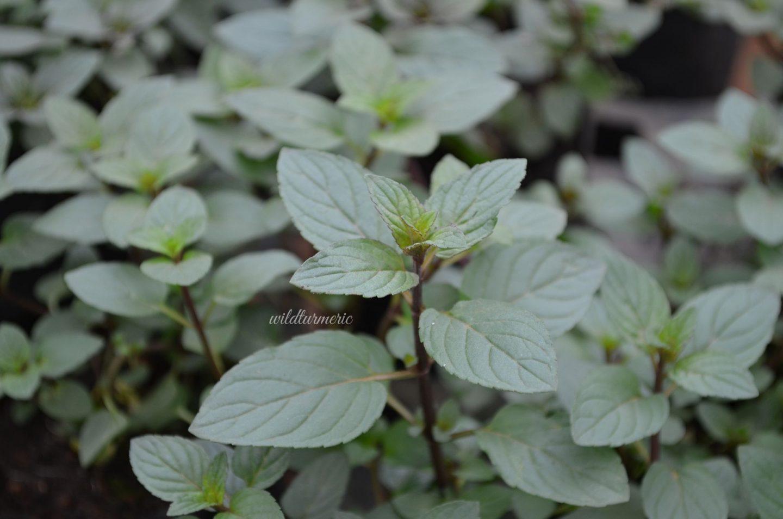 peppermint tea medicinal uses