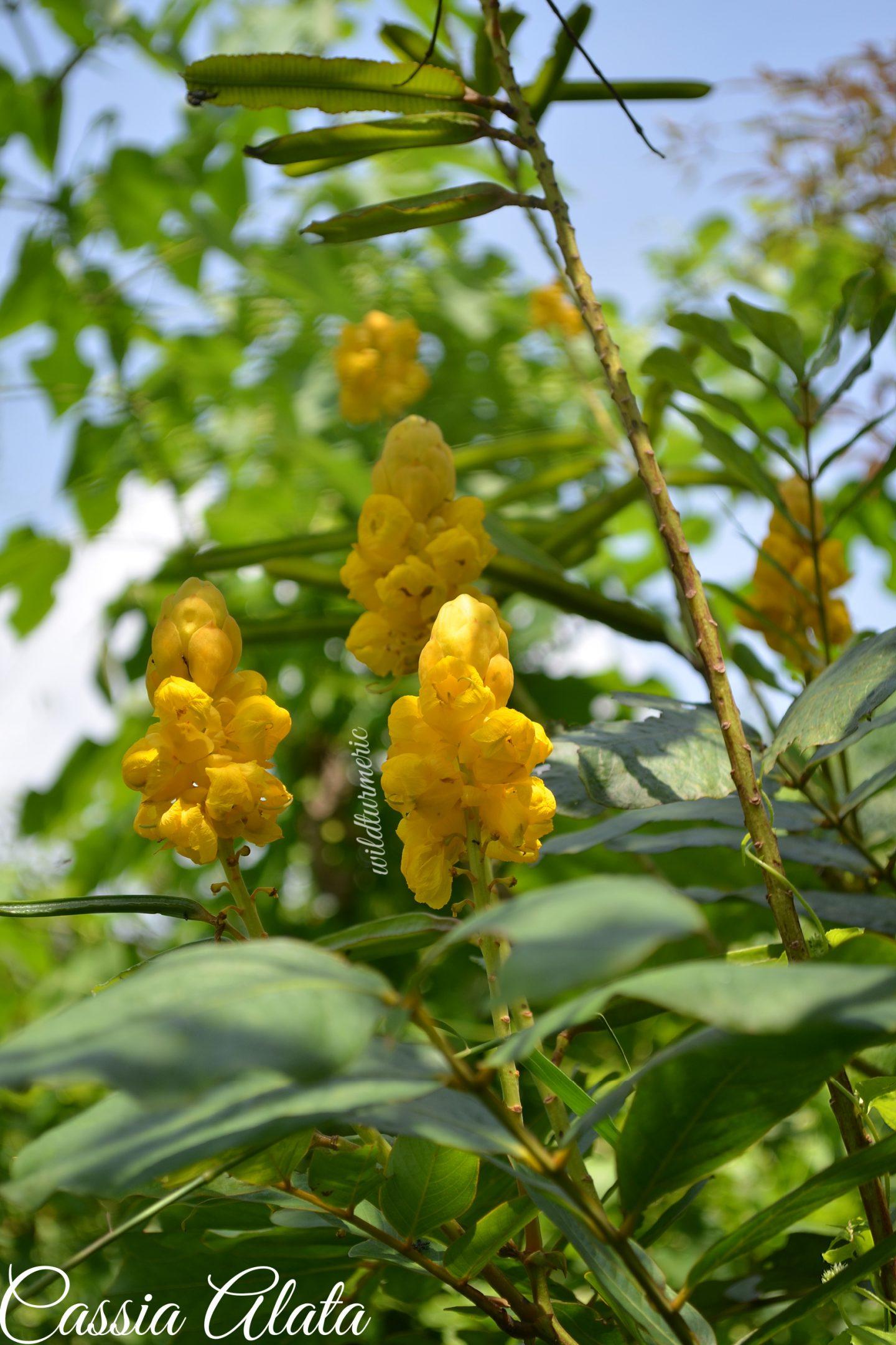 cassia alata tree medicinal uses