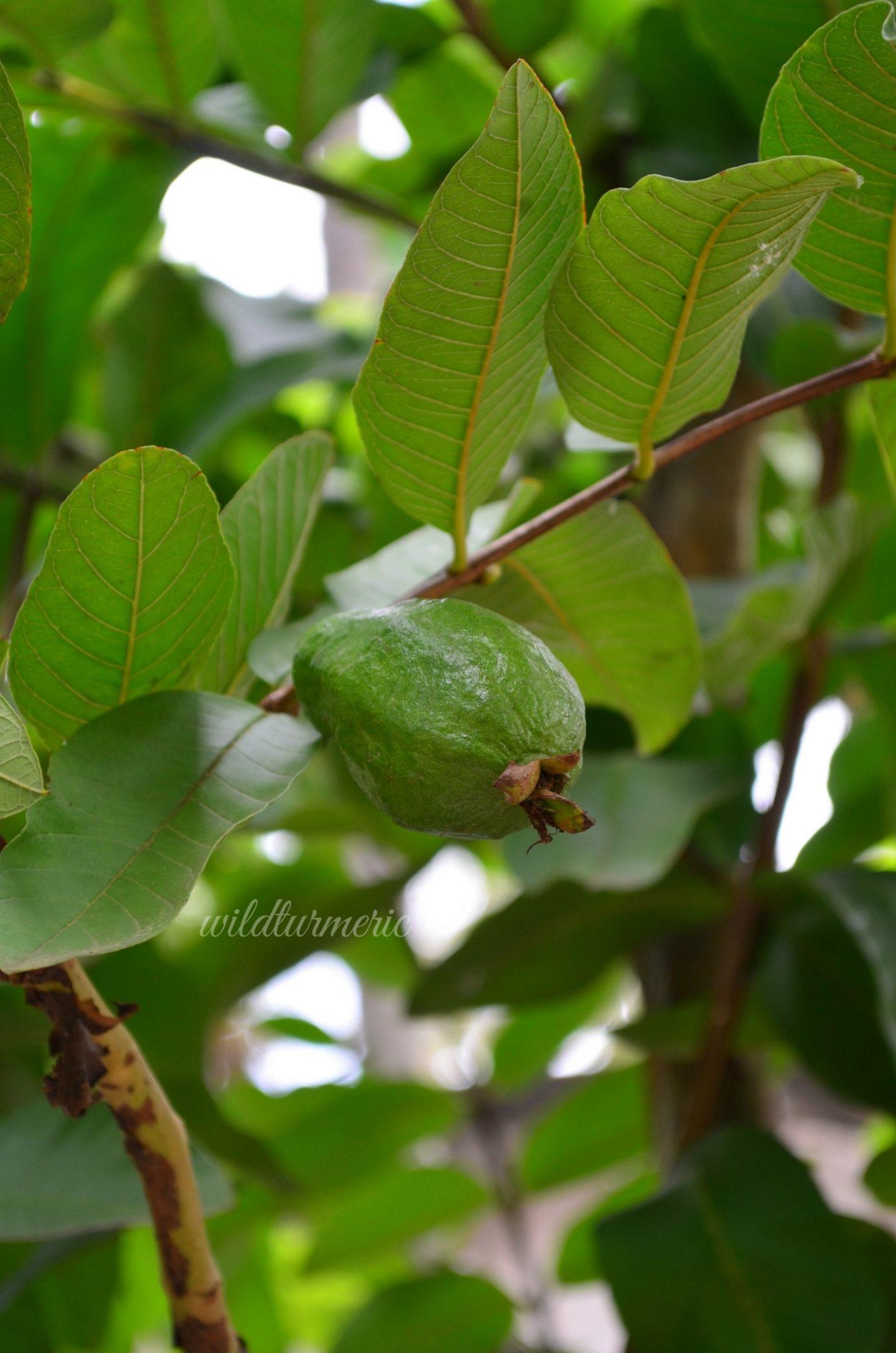 guava leaves for hair dandruff