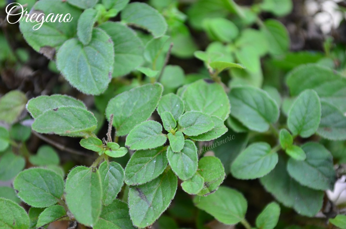 oregano health benefits