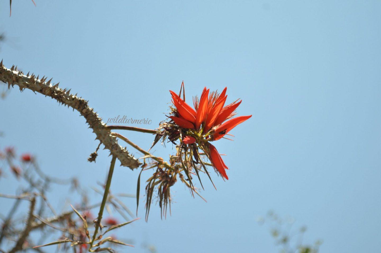 erythrina variegata medicinal uses