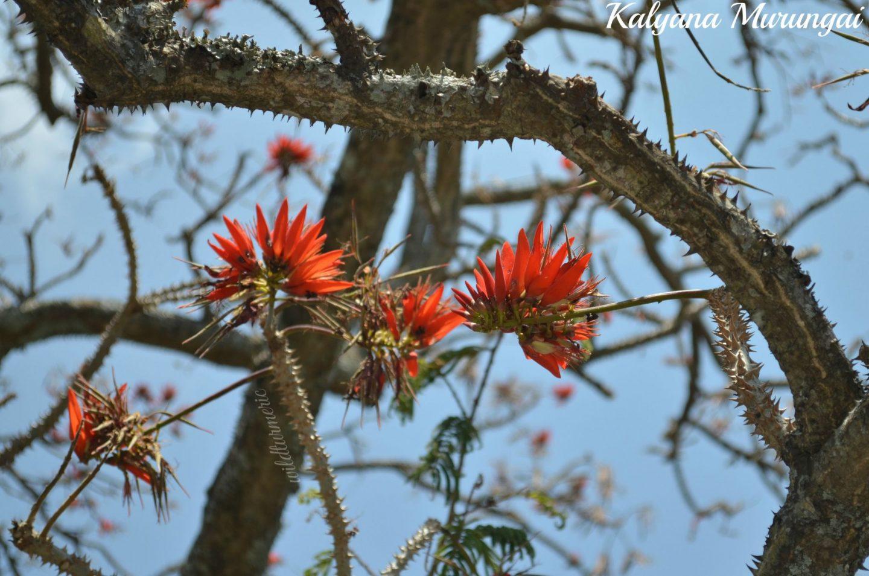 kalyana murungai medicinal uses