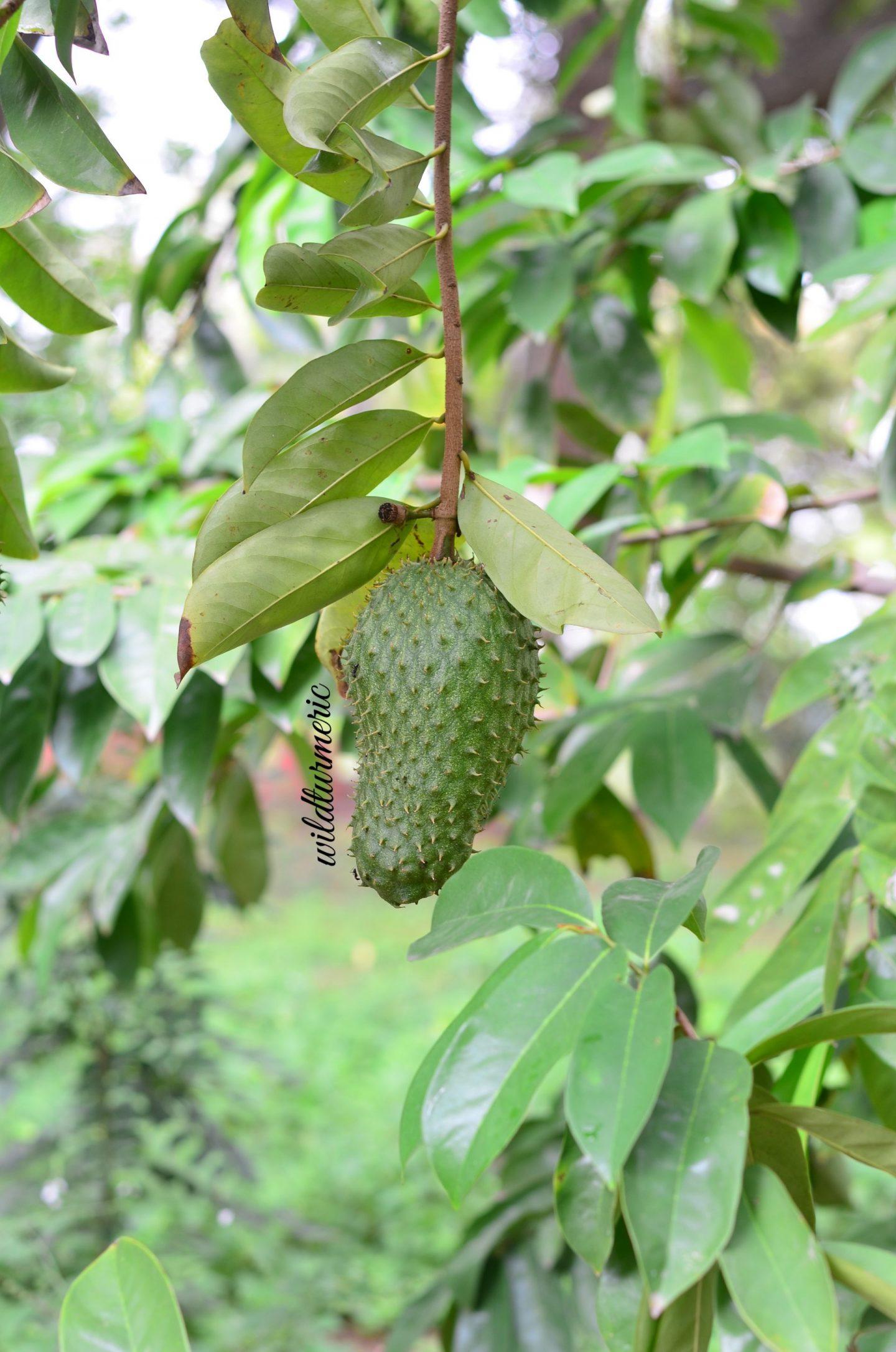 graviola fruit uses